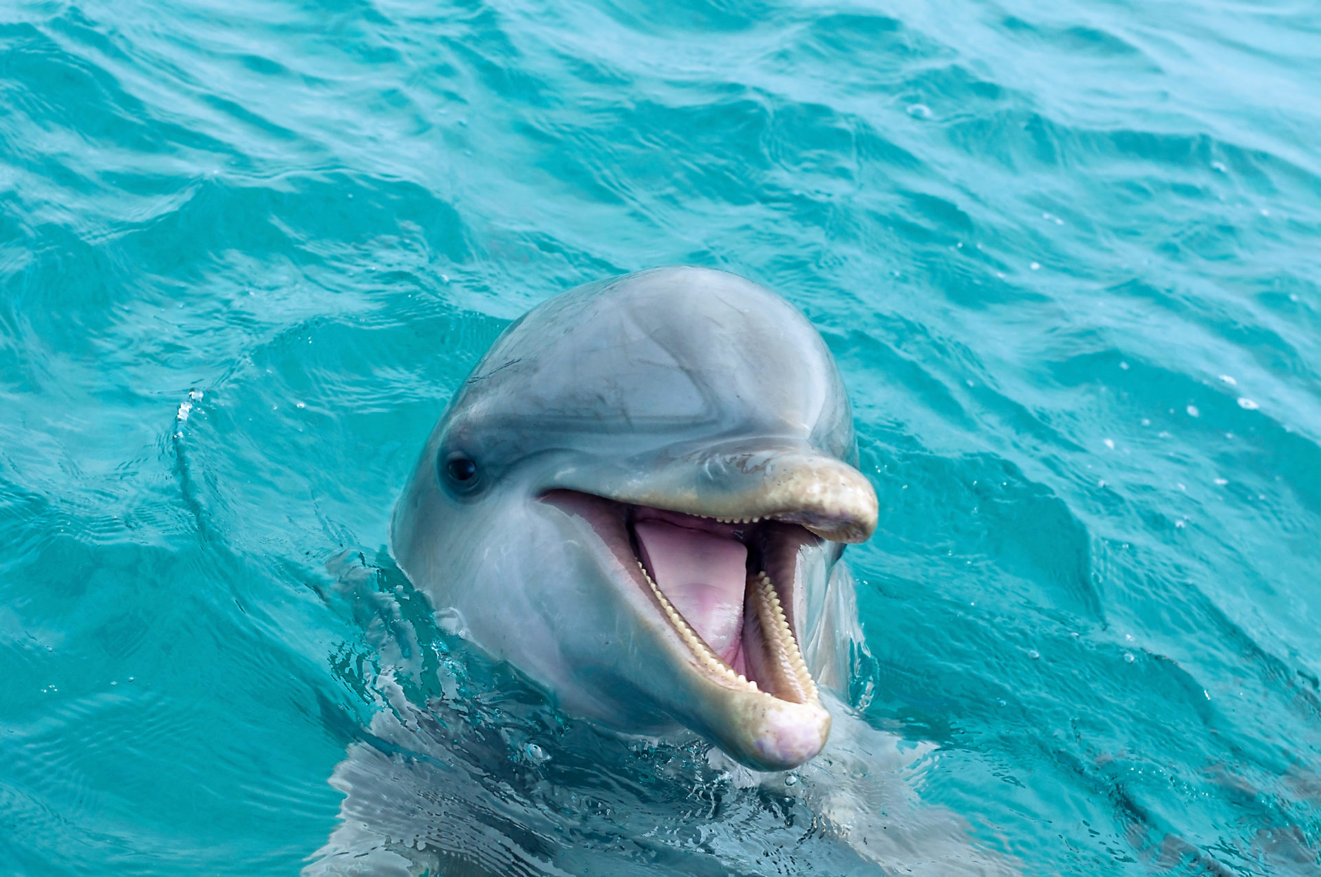 Portrait of a happy Dolphin