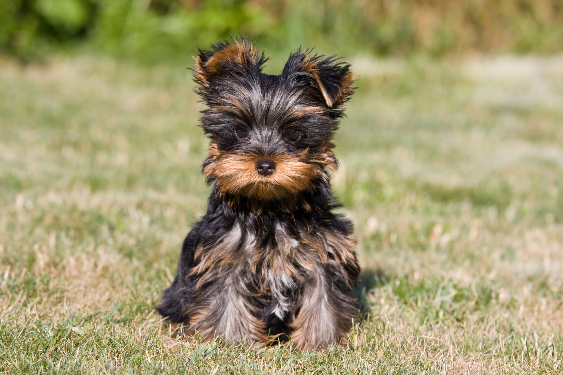 Yorkshire terrier outdoors