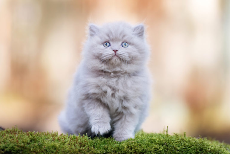 adorable british longhair kitten outdoors