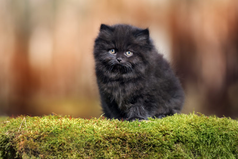 black british longhair kitten outdoors in summer