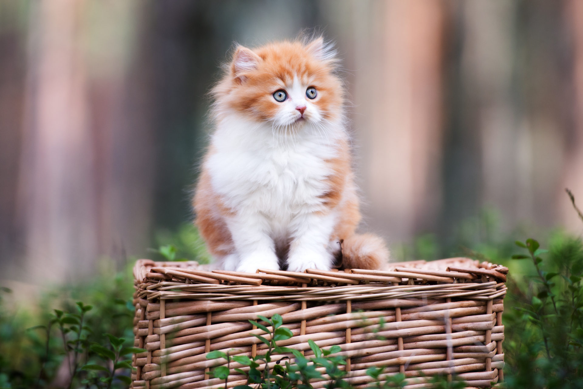 red and white british longhair kitten sitting outdoors