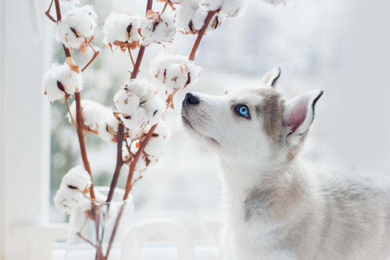 Husky puppy sniffs cotton branches. Symbol of new year