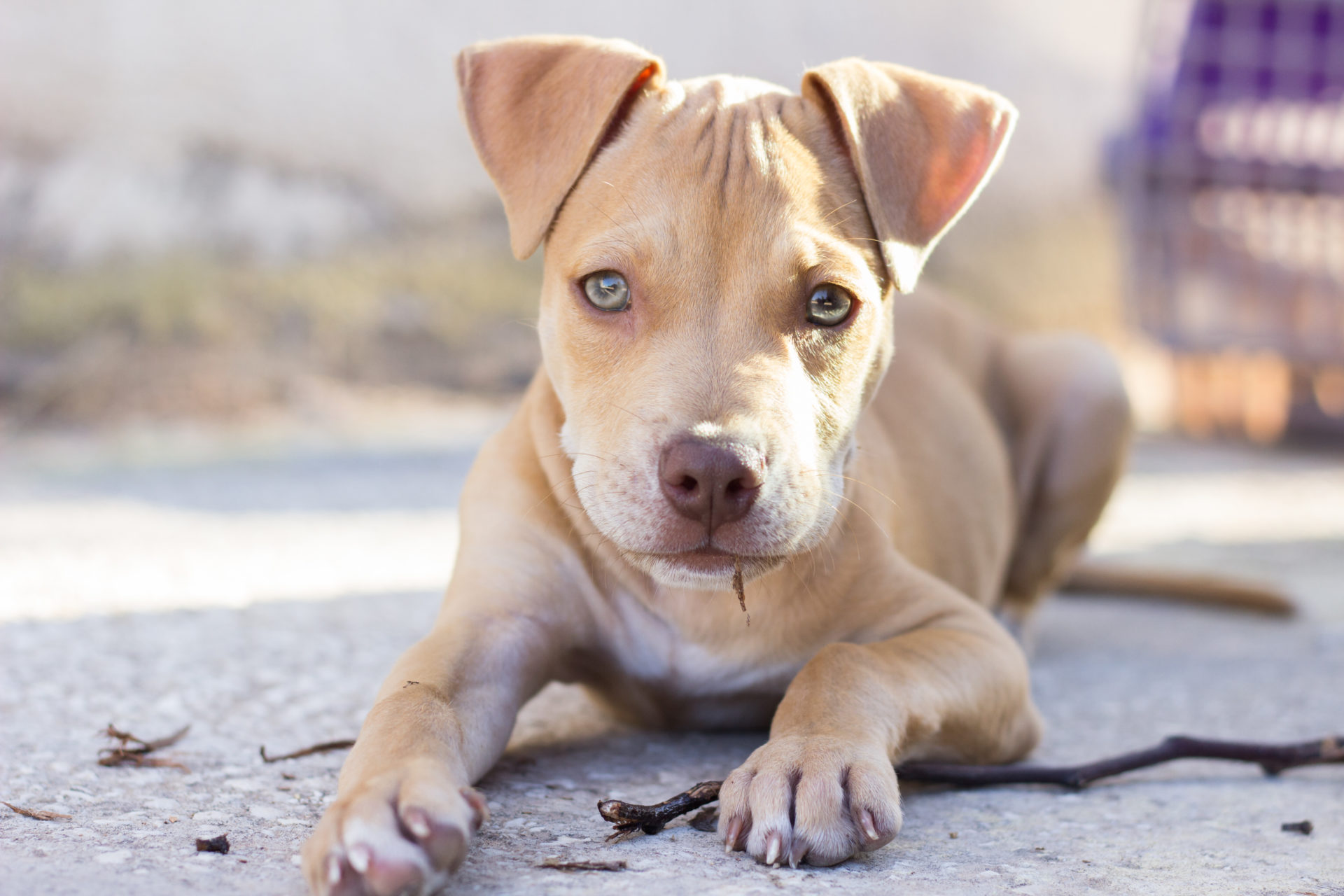 My Pitbull Dog HD Wallpapers New Tab Theme