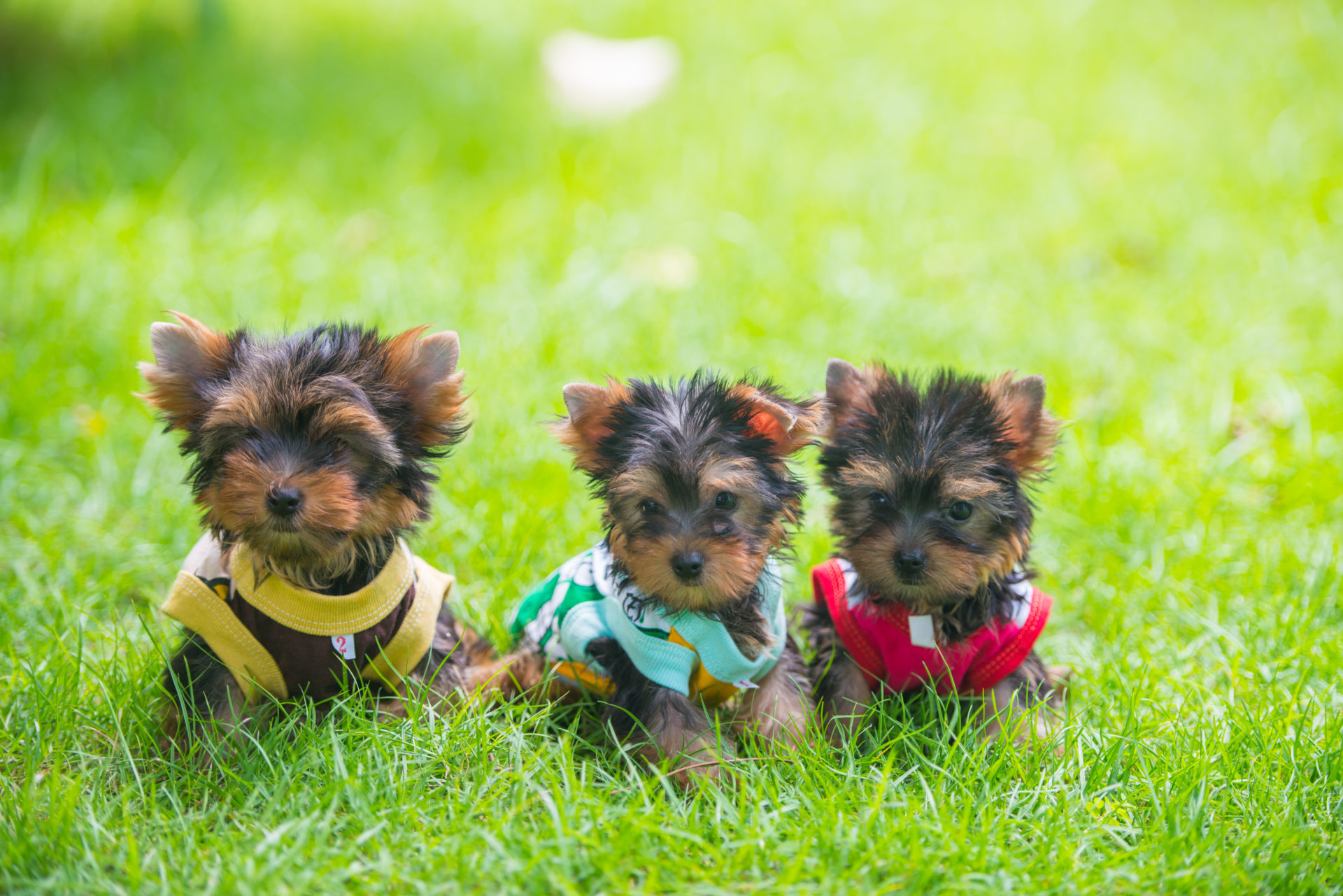 three Yorkshire terrier sitting on the grass