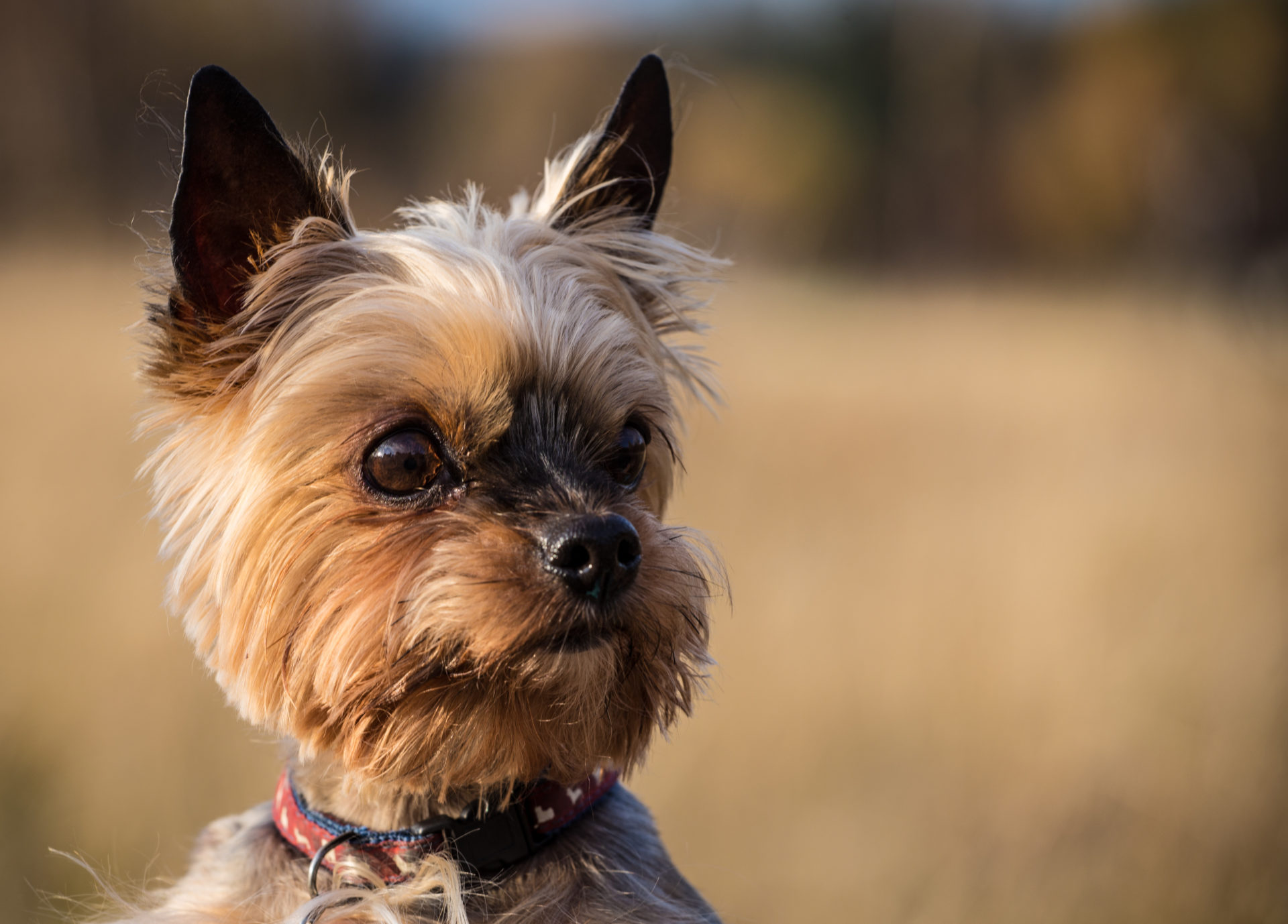 adorable Yorkshire terrier