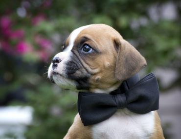 Is a Boxer the right dog for you?