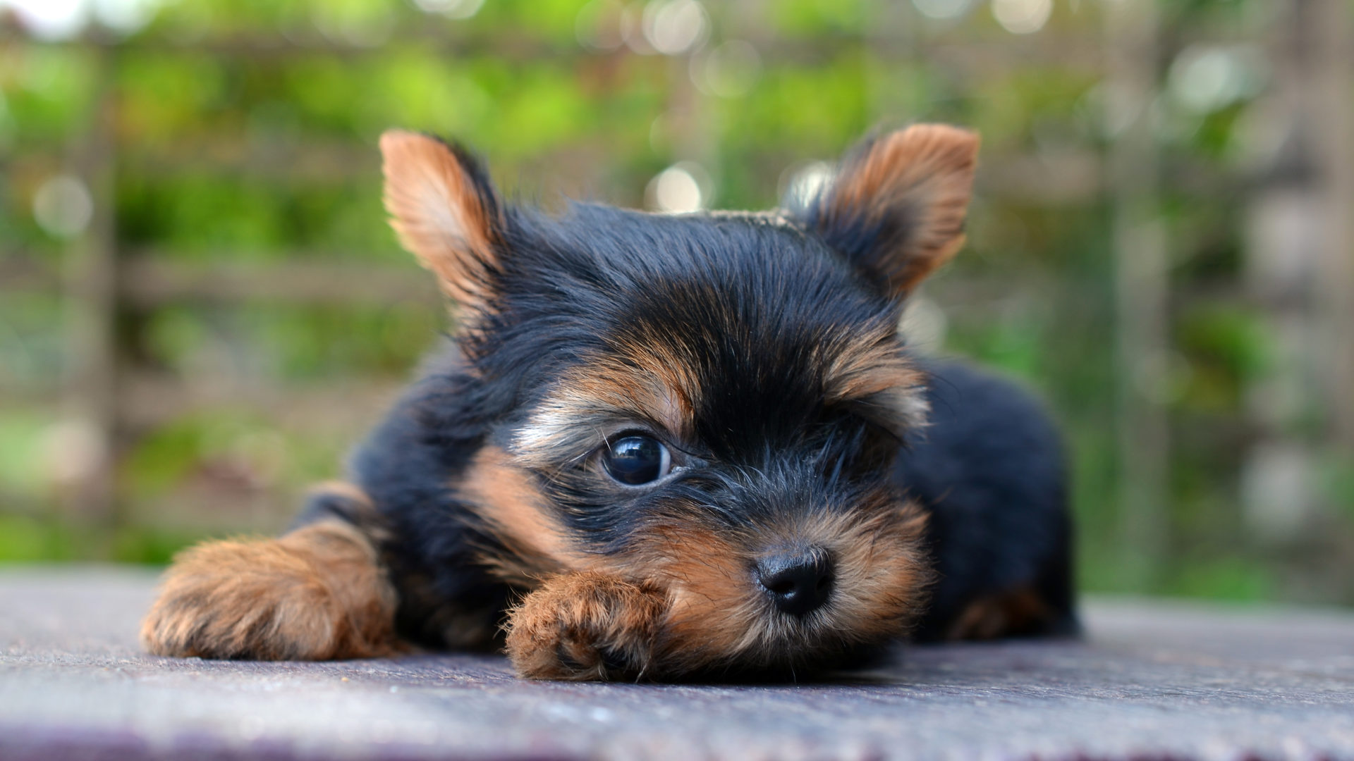 Yorkshire terrier being cute