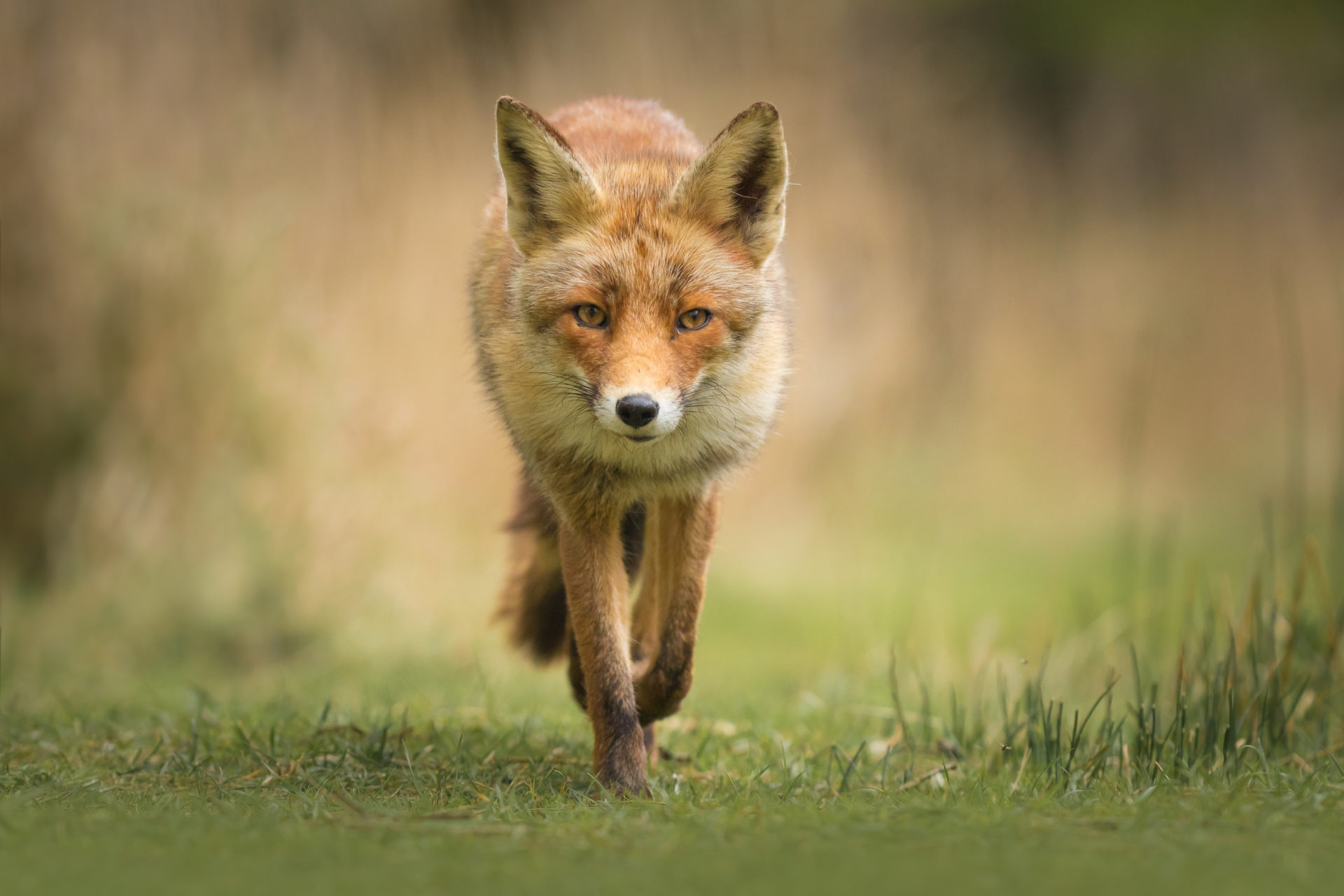 Wild young red fox (vulpes vulpes) vixen scavenging in a forest