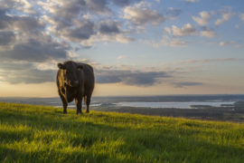 bull on hill overlooking bay at sunset