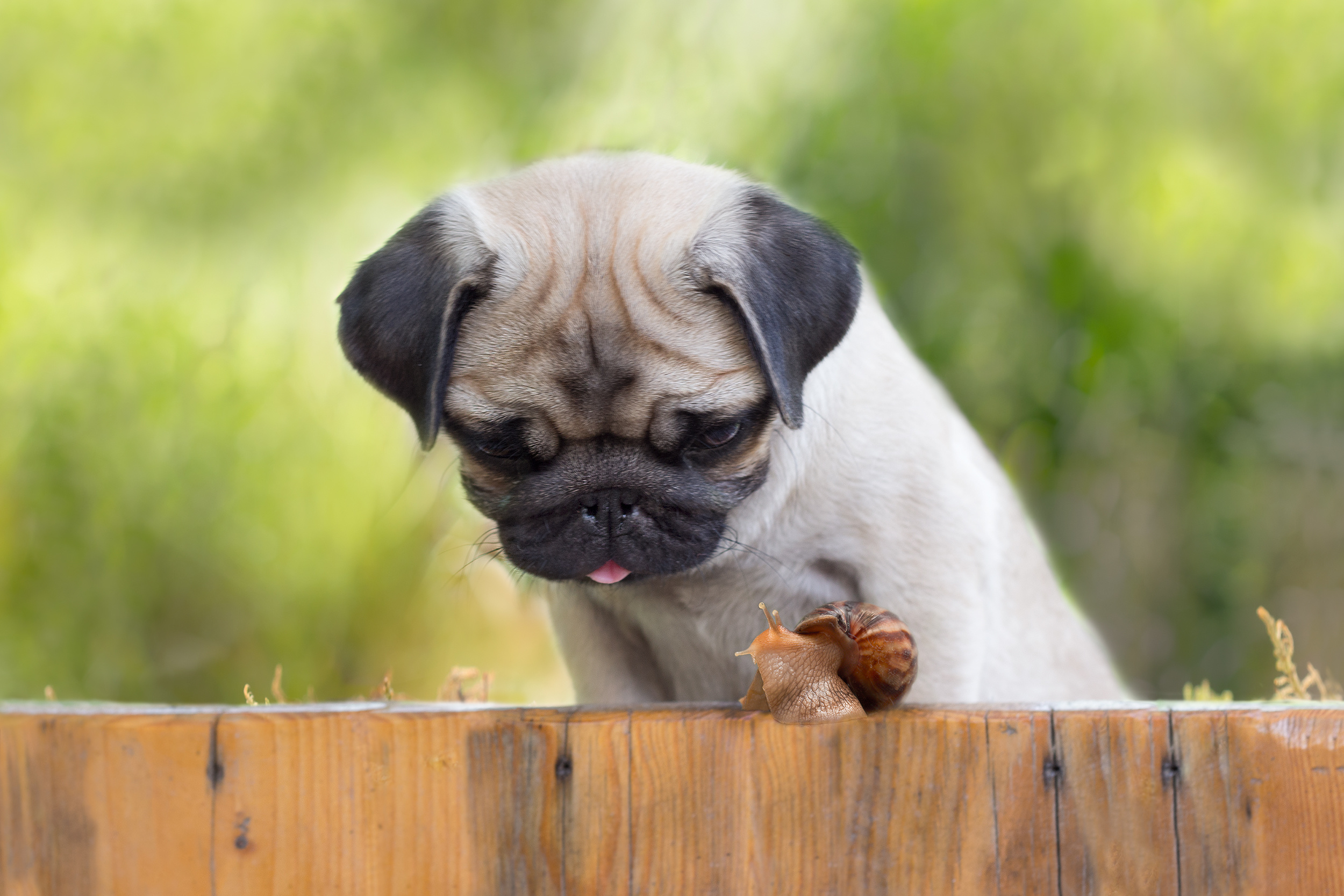 the puppy pug is watching on snail crawling up fence