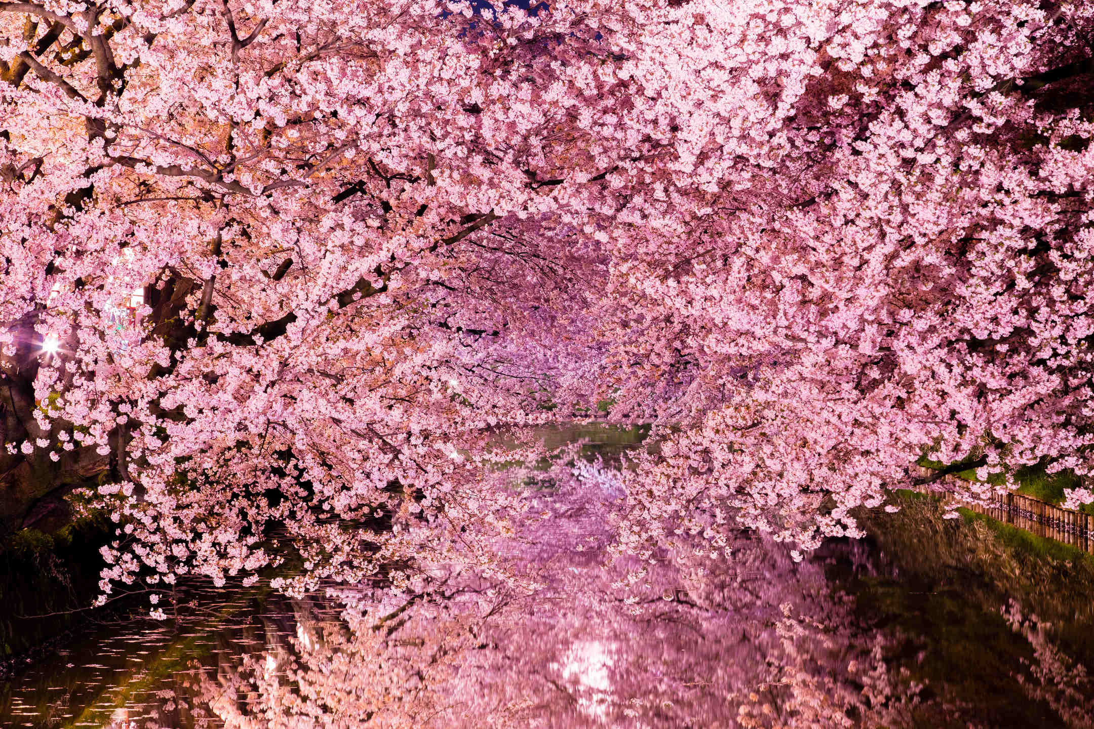 13 Things You Didn T Know About Cherry Blossoms Mystart