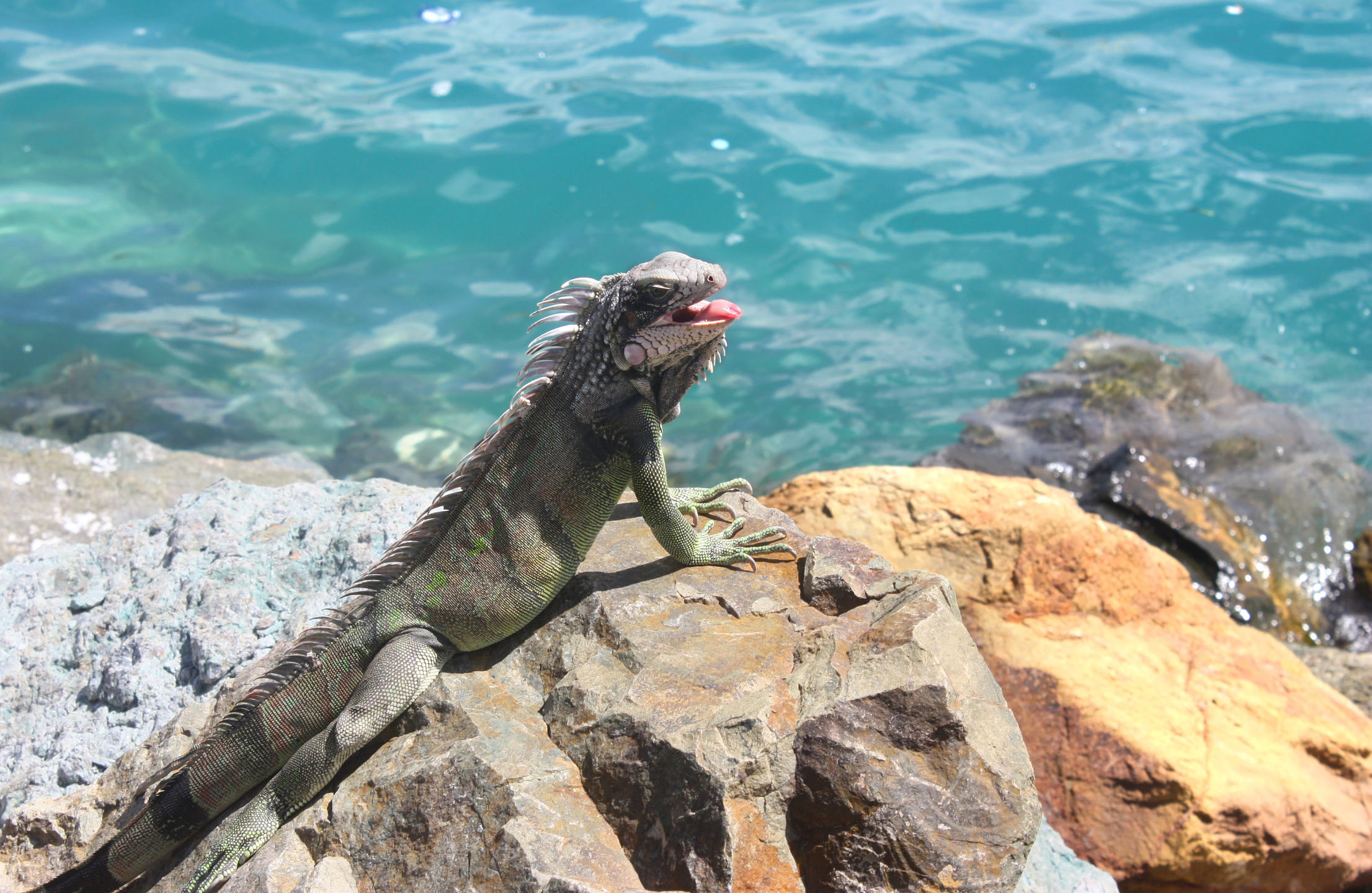 Iguana near the water