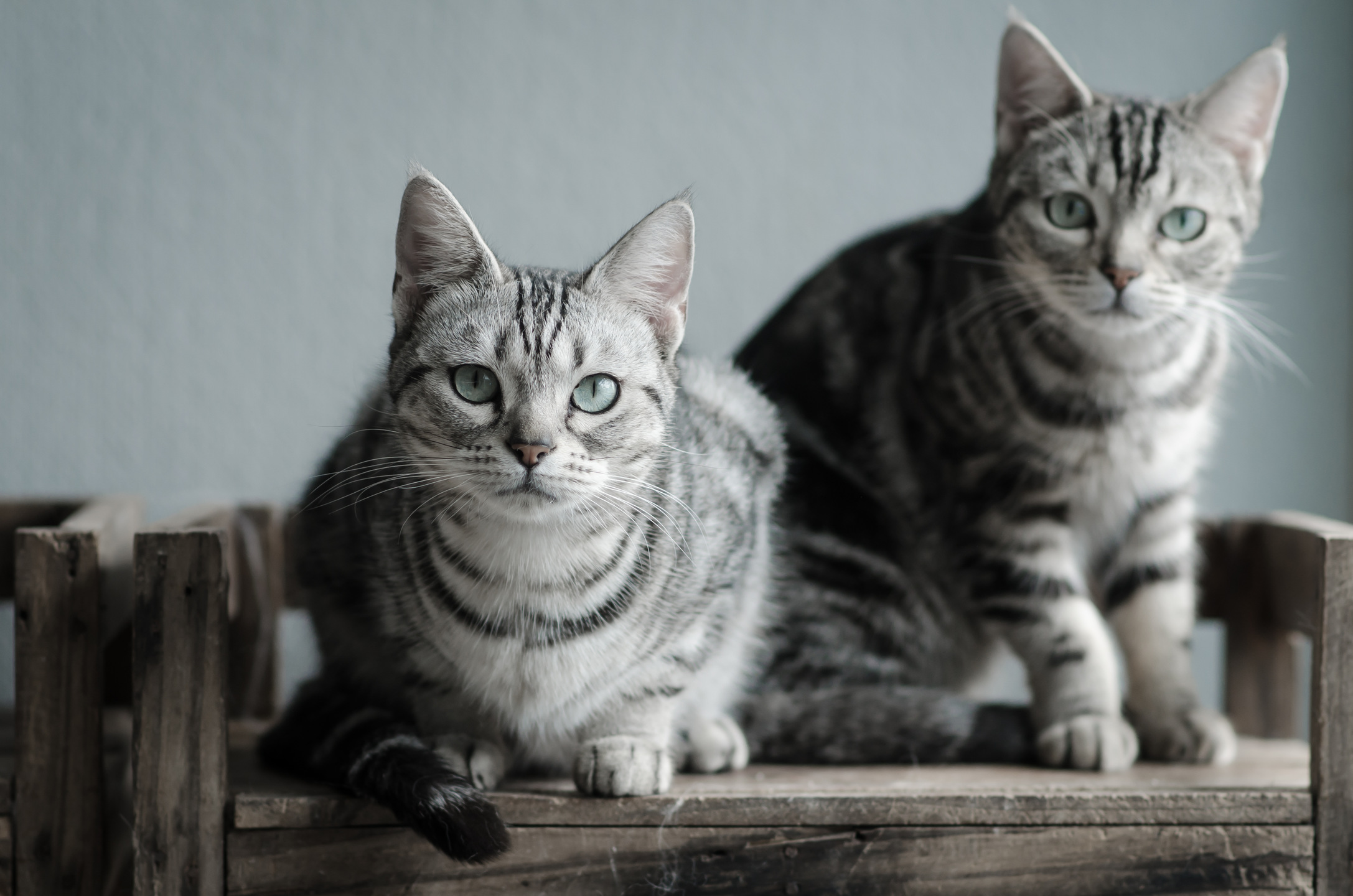 American Shorthair Cat History