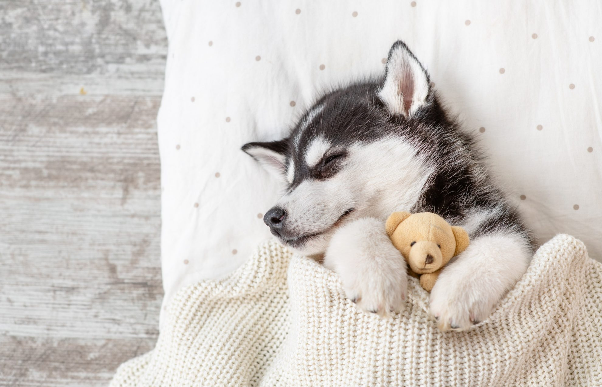 My Puppy Husky Hd Wallpapers New Tab Mystart