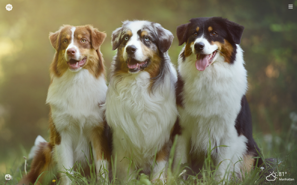 My Australian Shepherd HD Wallpapers New Tab