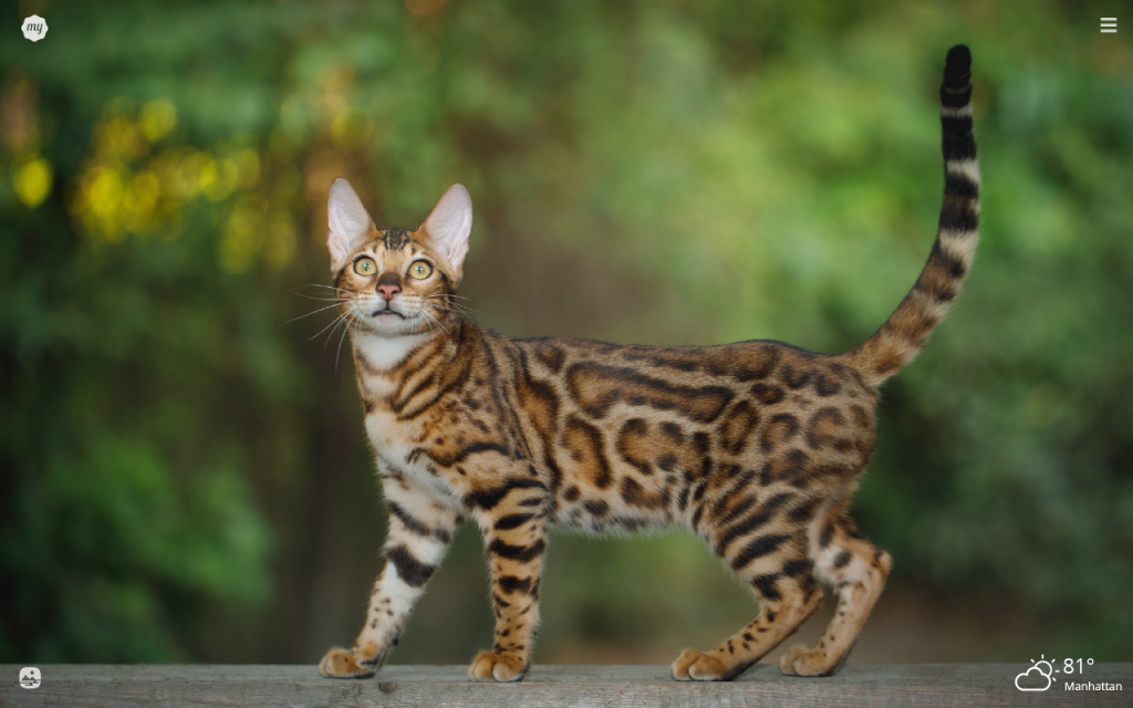 My Bengal Cat HD Wallpapers New Tab Theme