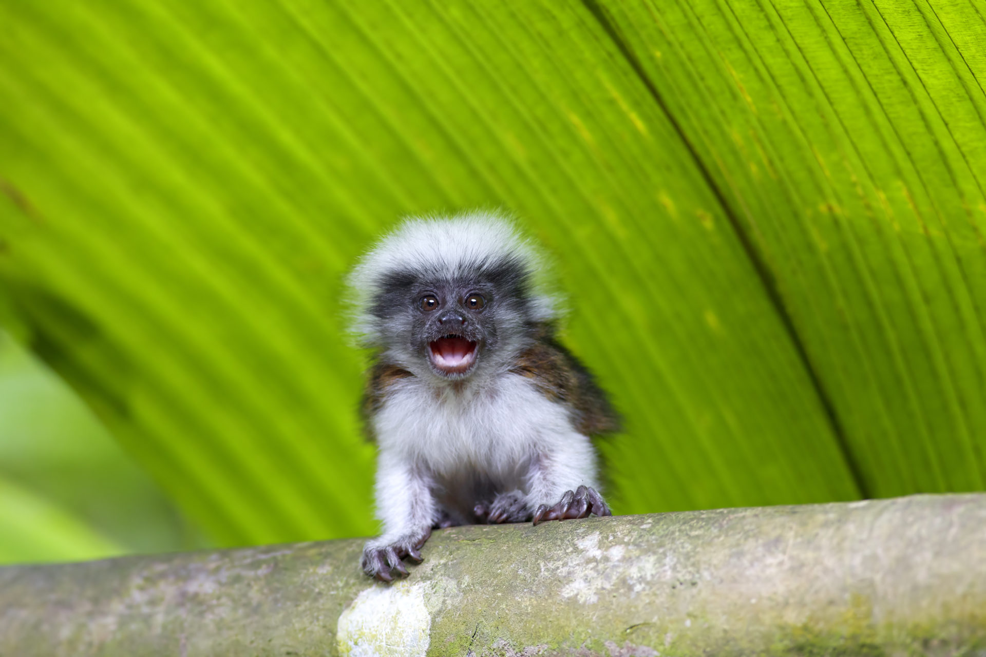 cotton top tamarin baby