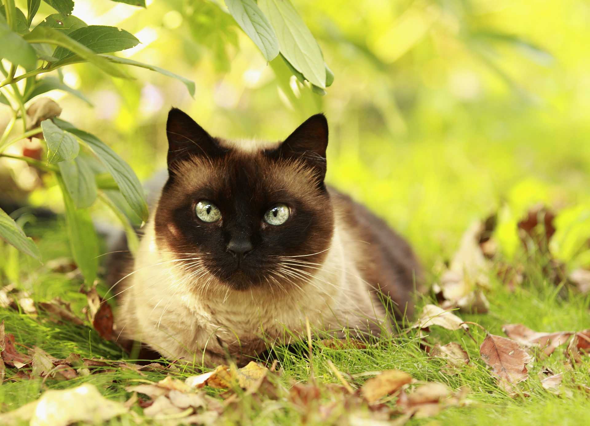 The Balinese cat sitting in the grass