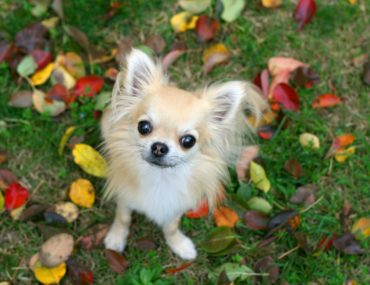cute Chihuahua dog outdoors