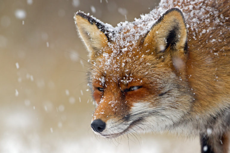 winter animals fox in white snow