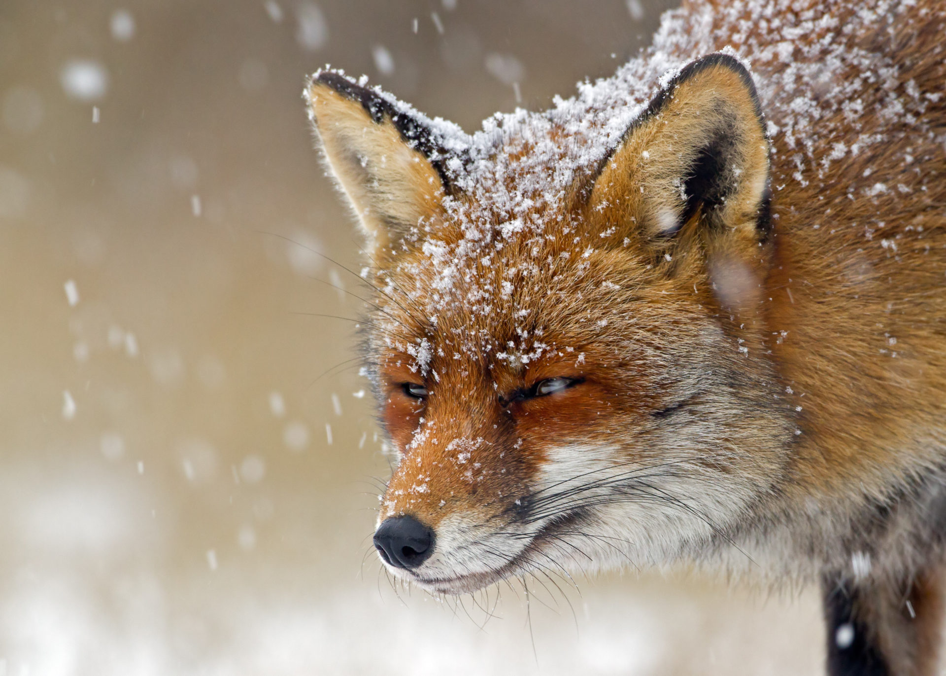 Animals Fox Orange Wallpaper Animal Wallpapers: My Winter Animals HD Wallpapers New Tab Theme