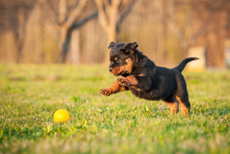 Rottweiler dog playing outdoors