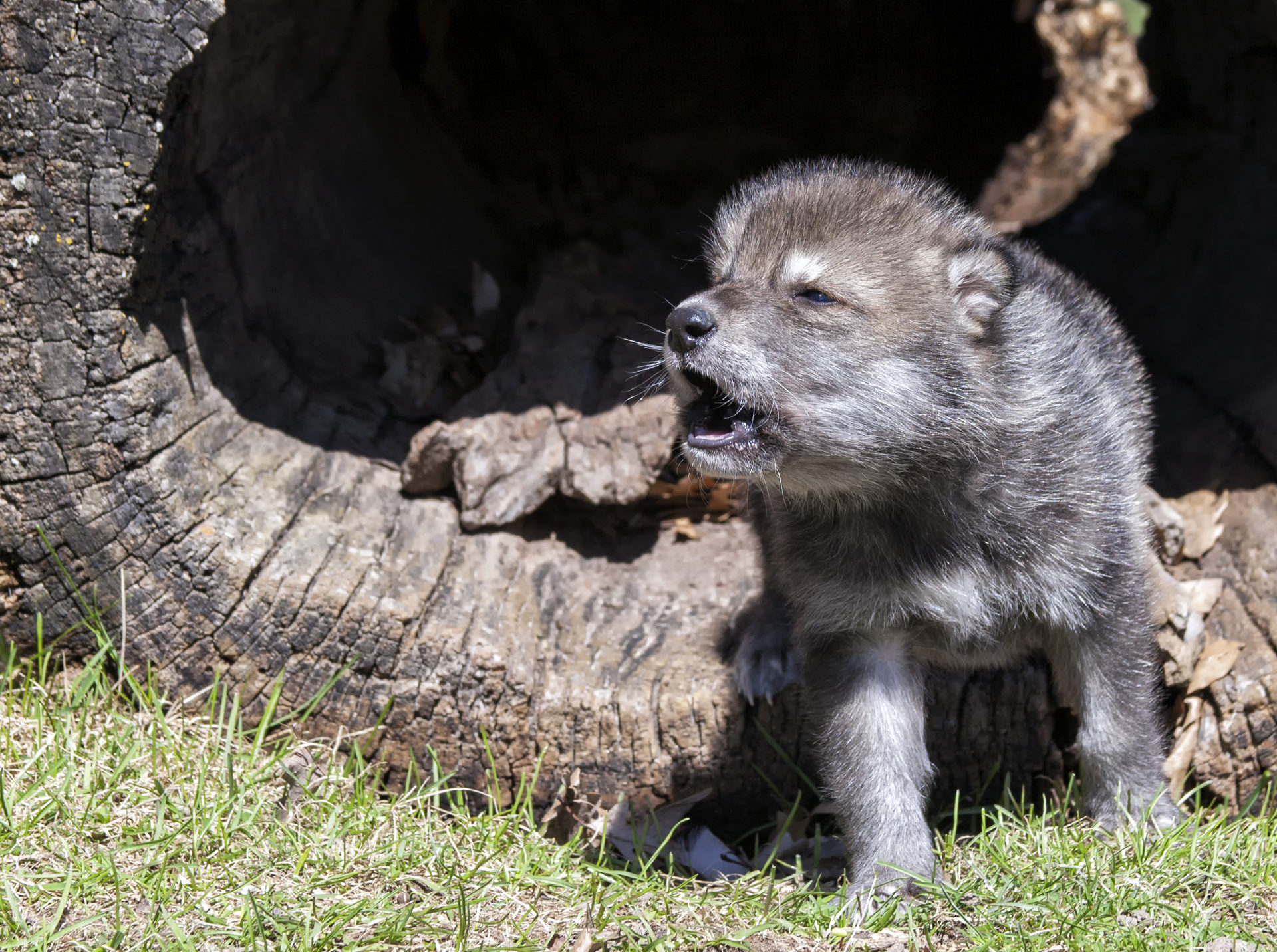 wolf pup playing