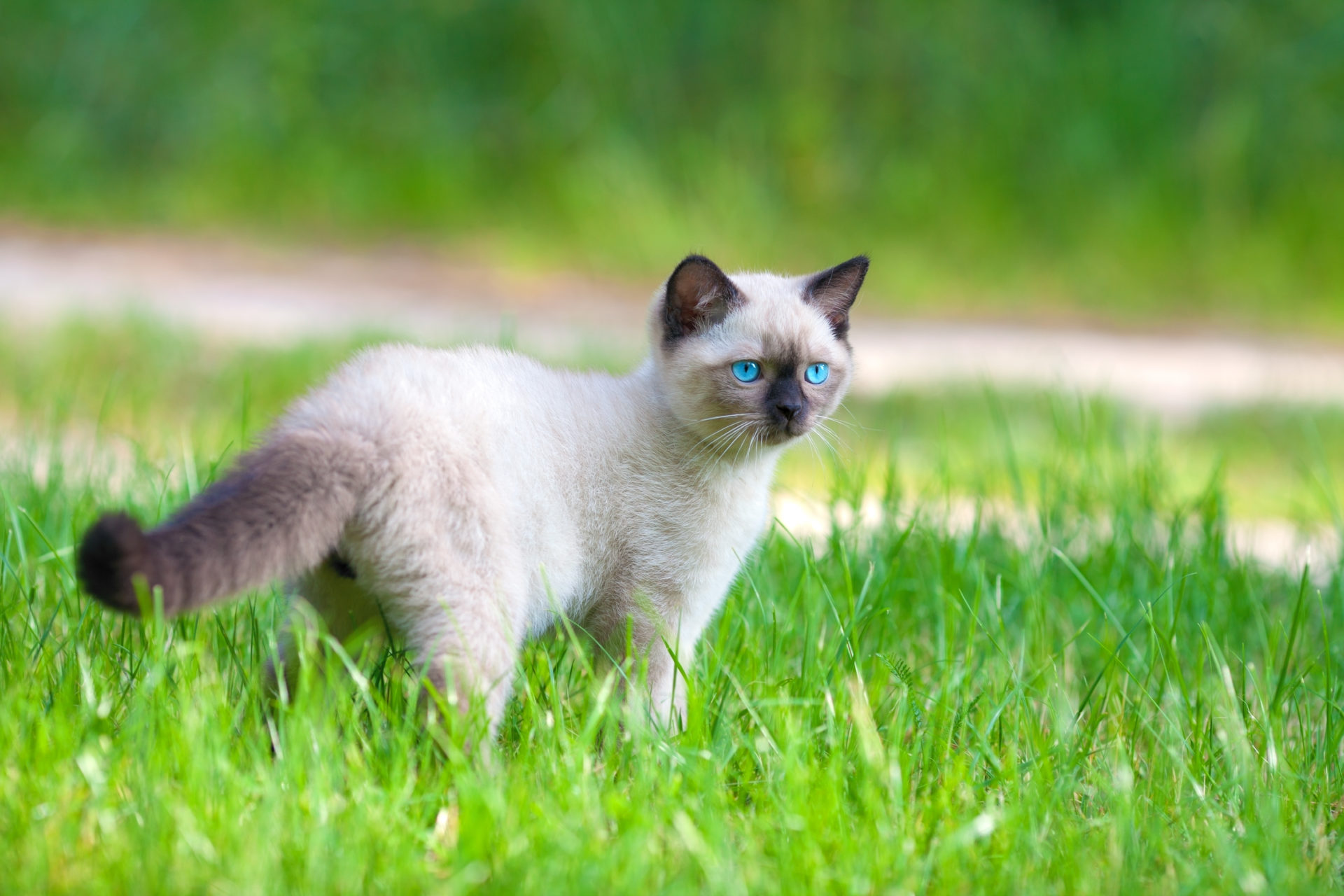 Beautiful Siamese kitten