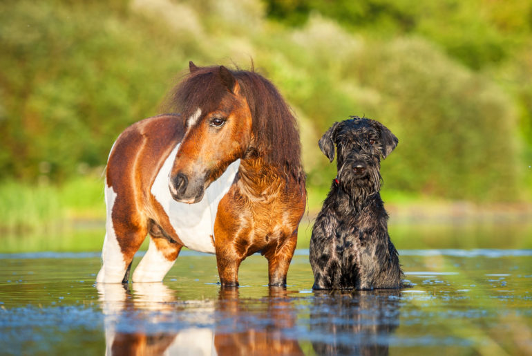Schnauzer dog sitting beside a horse