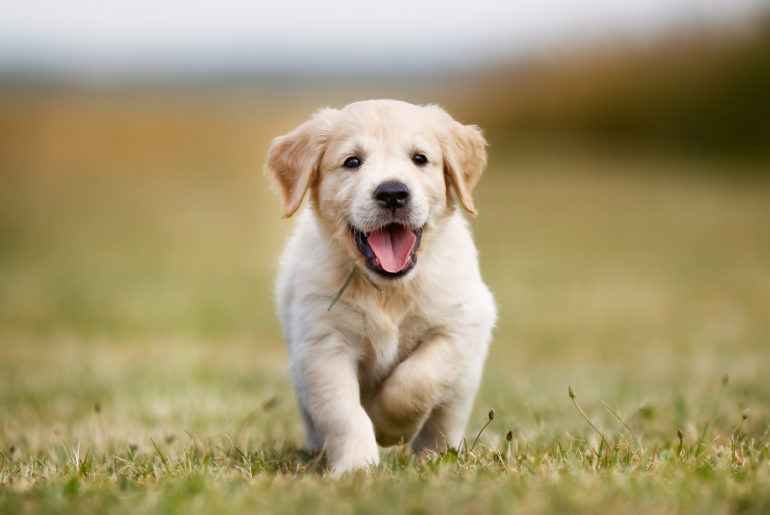 golden retriever puppy dog