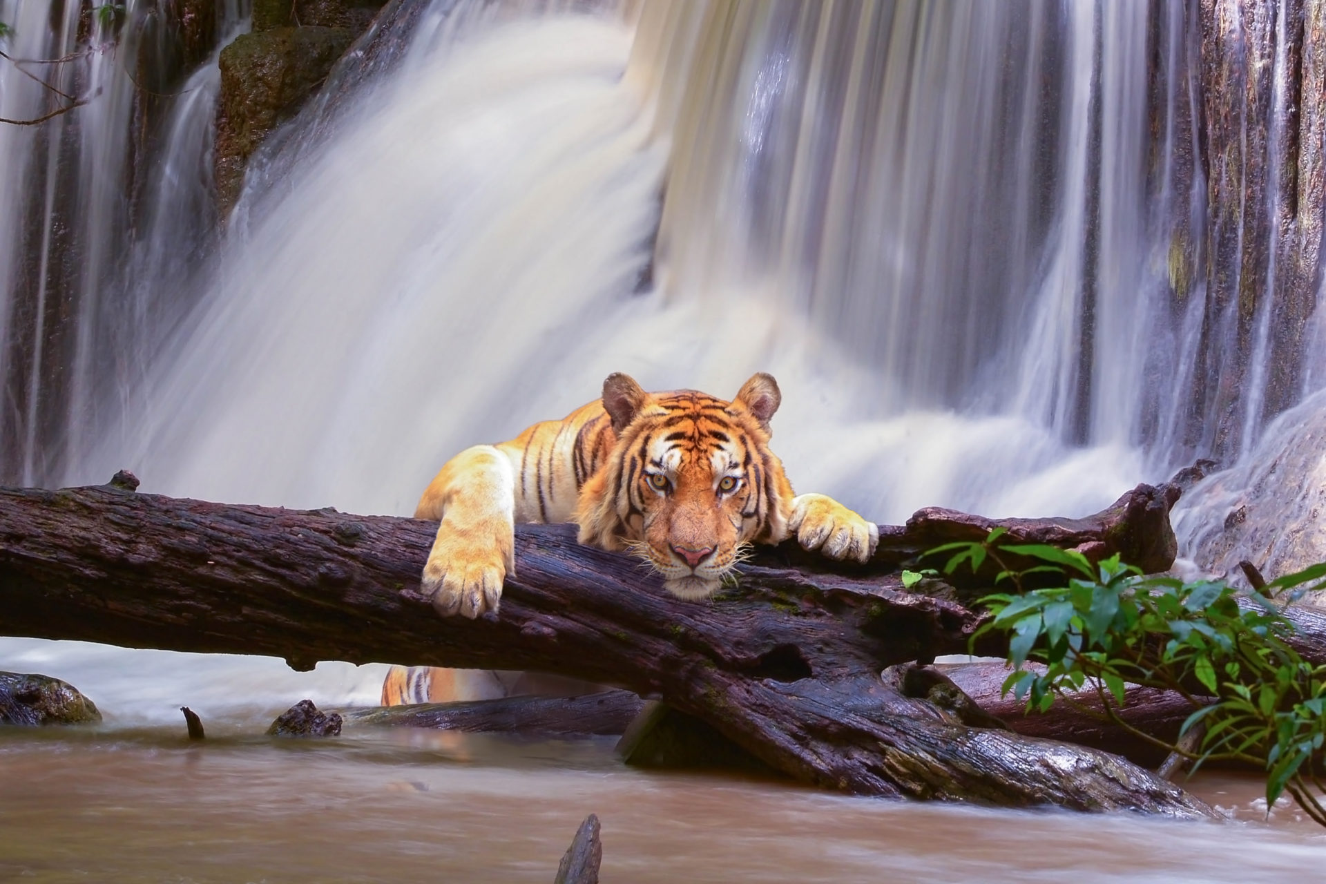 My Wild Cats Lion Tiger Hd Wallpapers Mystart