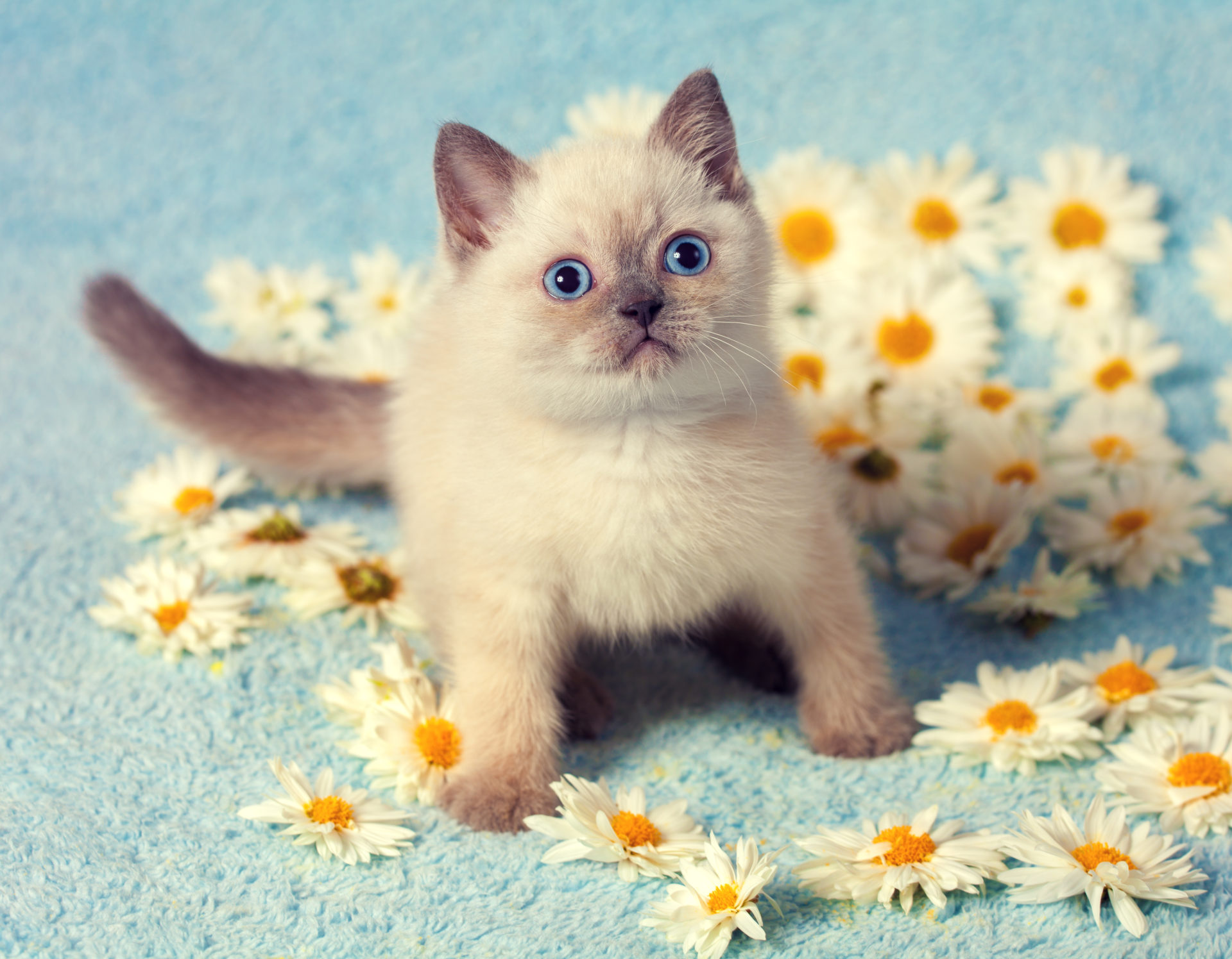 interesting facts about the siamese cat mystart