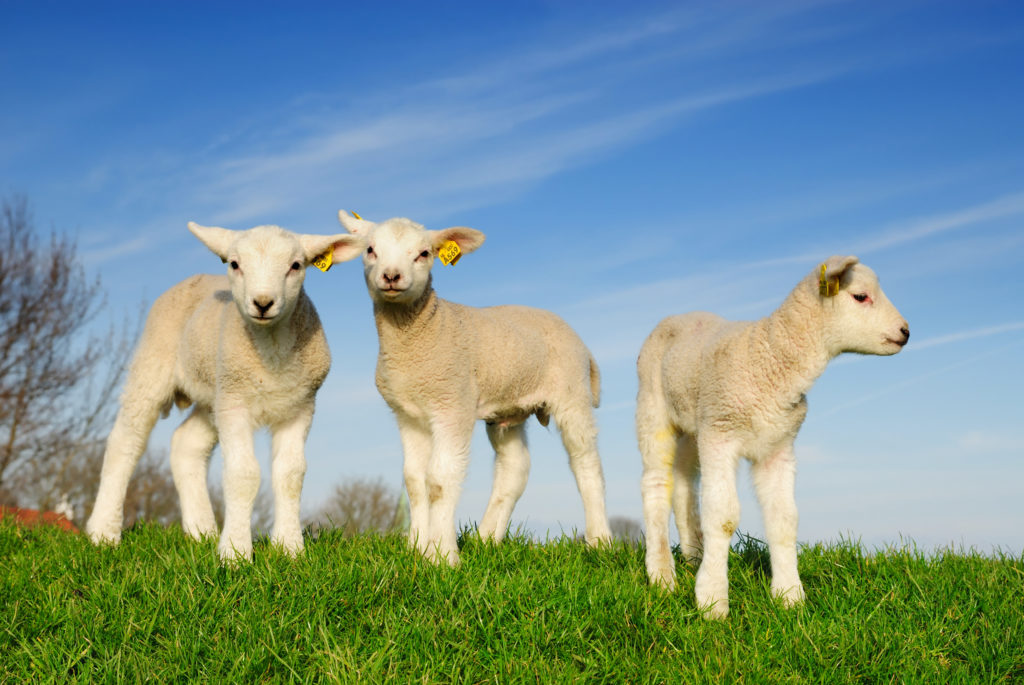 My Baby Lamb HD Wallpapers New Tab Theme