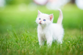 white cat kitten with blue eyes
