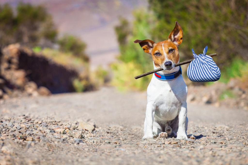 My Jack Russell HD Wallpapers New Tab Theme