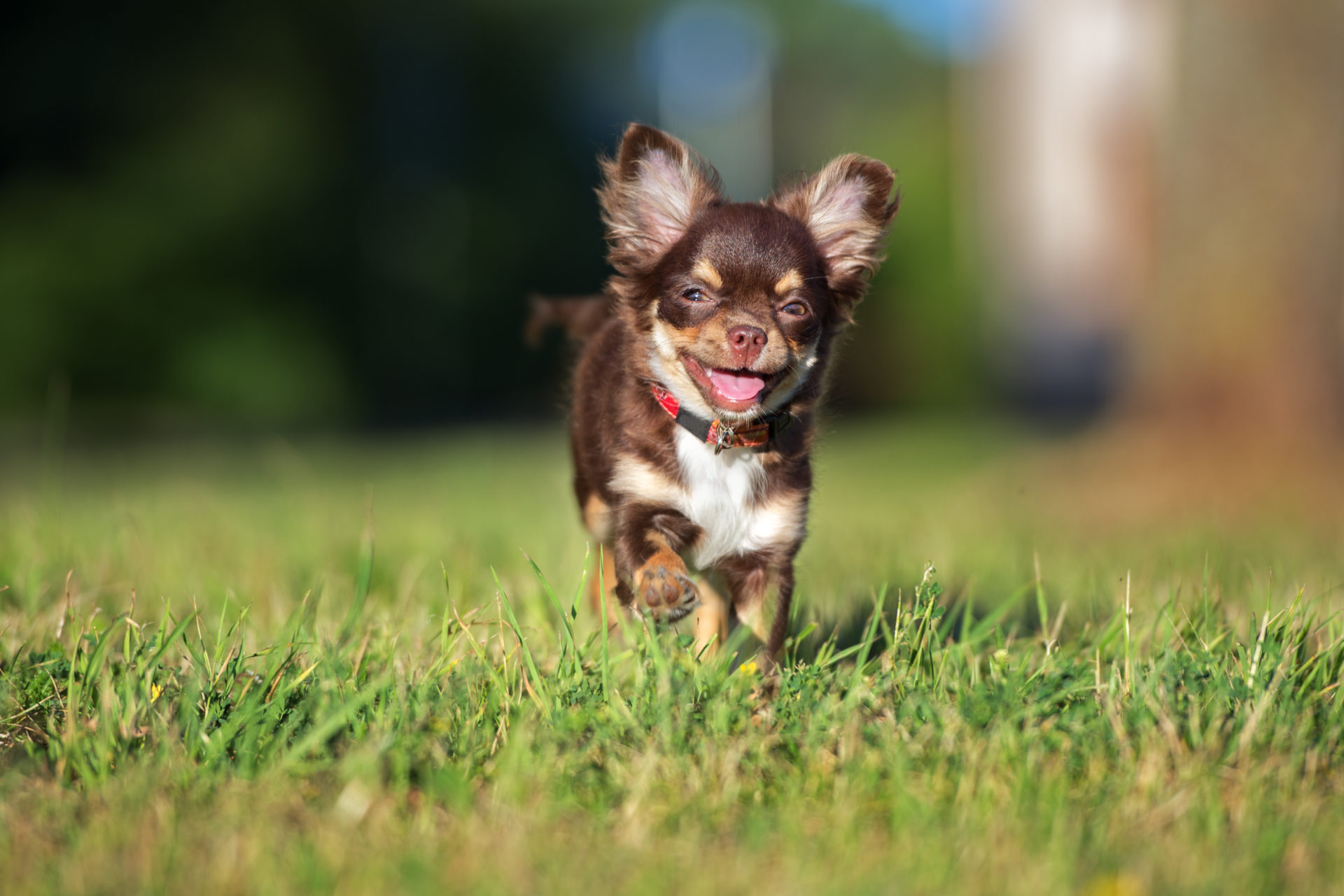 My Chihuahua HD Wallpapers New Tab
