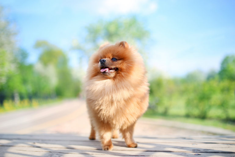 playful Pomeranian dog