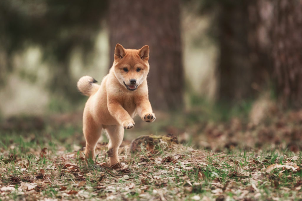 My Shiba Inu HD Dog Wallpapers New Tab Theme