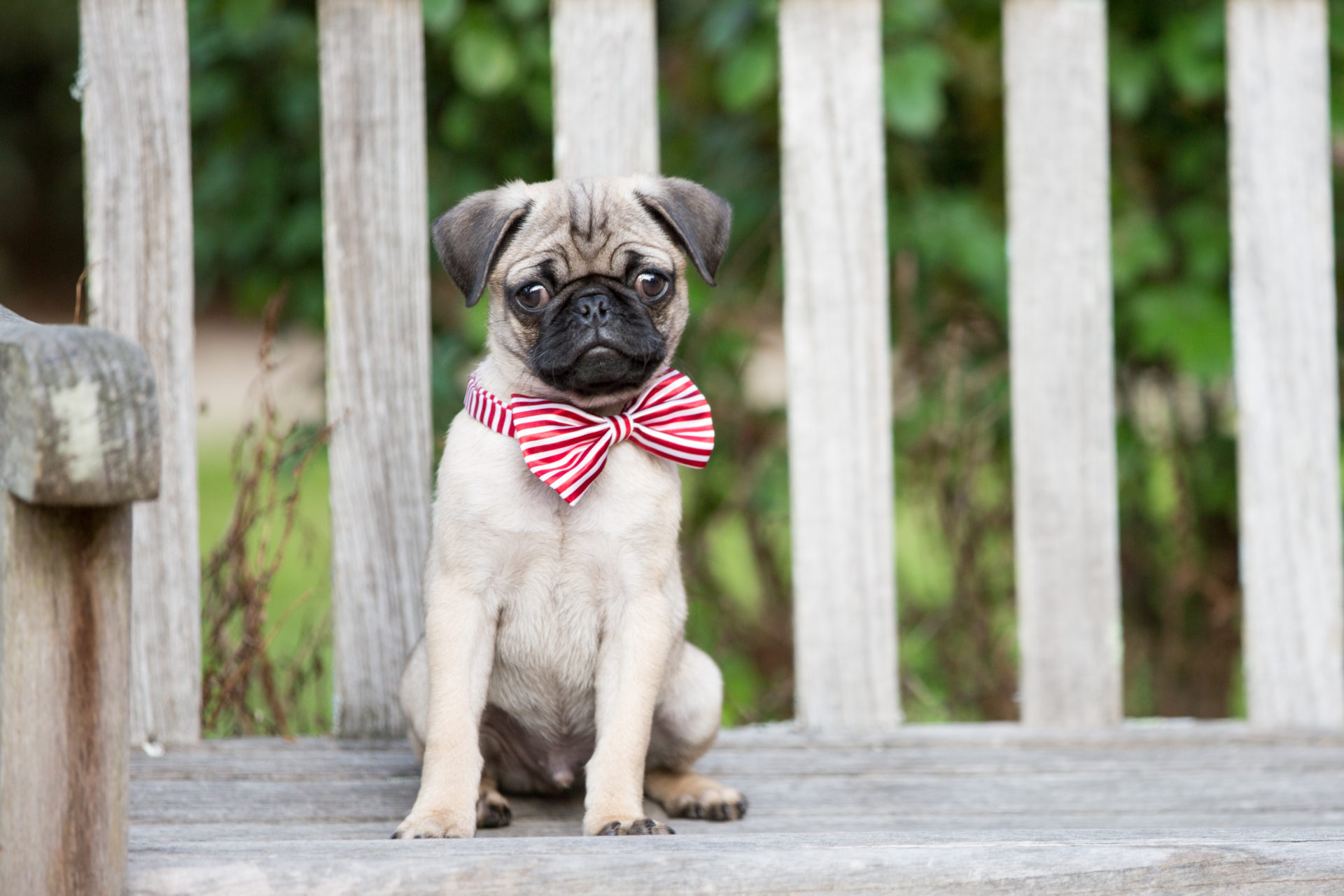 my pugs - lovely puppy & dog hd wallpapers - mystart