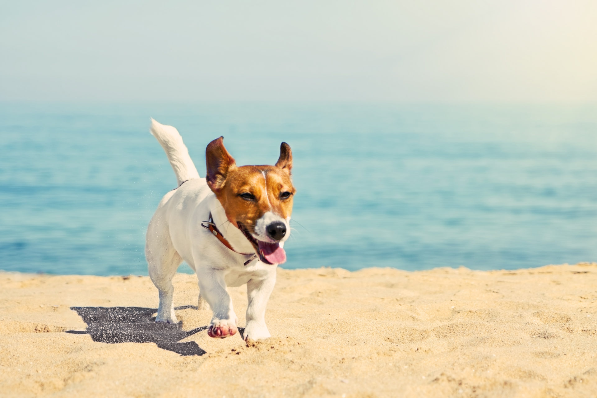 Jack Russel dog at the beach