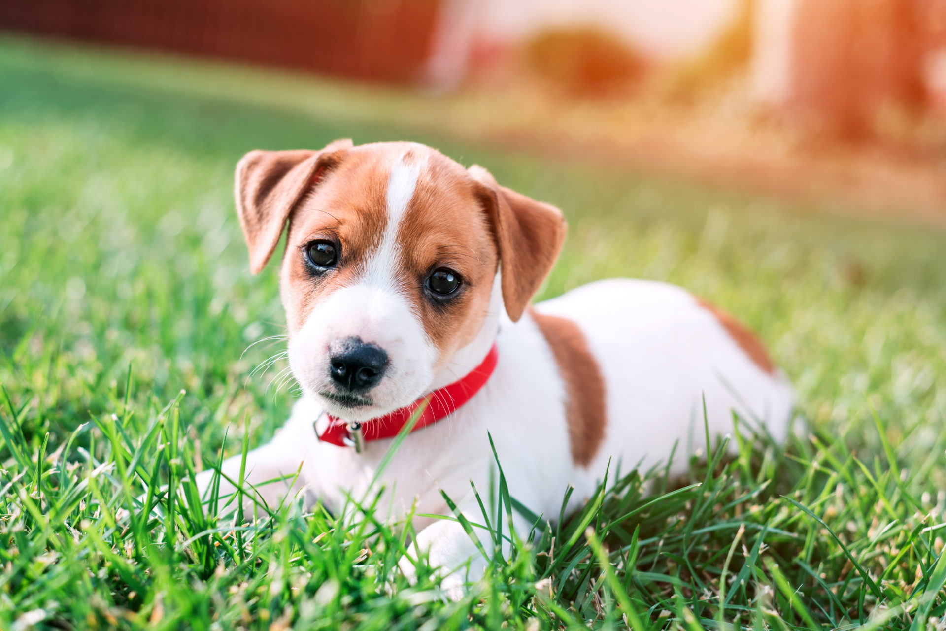 Jack Russel puppy playing outdoors