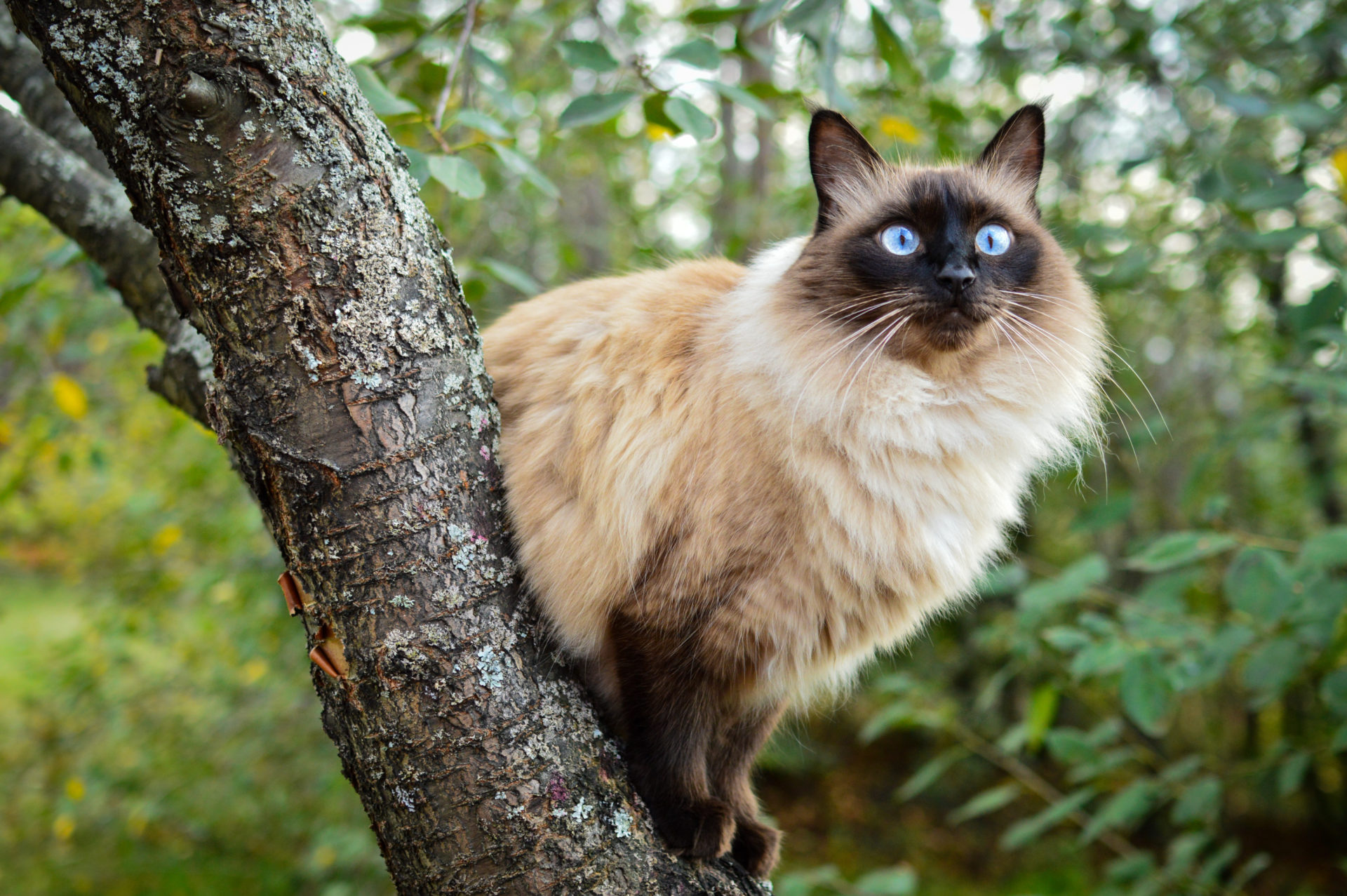 The Balinese cat in a tree