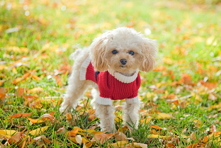 cute poodle dog
