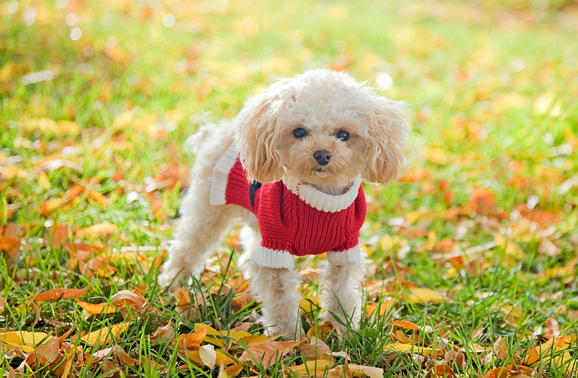 My Poodle Hd Wallpapers New Tab Theme Mystart